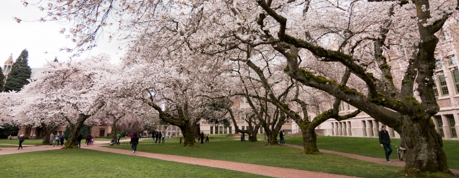 Cherry-blossoms-UW-quad