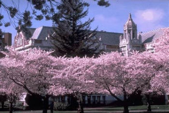 Cherry Trees in the UW Quad